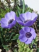 anemone m1204